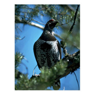 Spruce grouse, male postcard