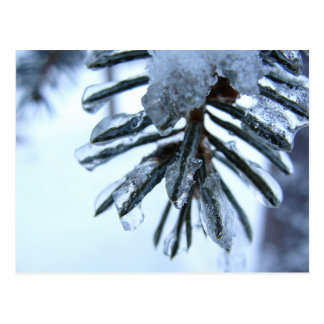 Spruce Needles Encrusted with Ice Postcard