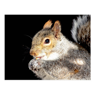 Squirrel eating a nut postcard