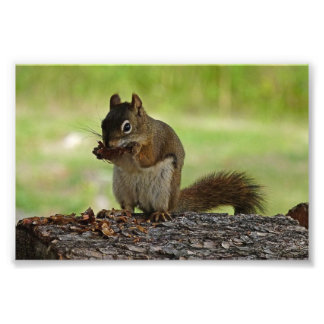Squirrel eating Cone Photo Print