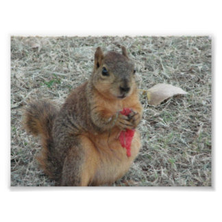Squirrel eating Watermelon Poster