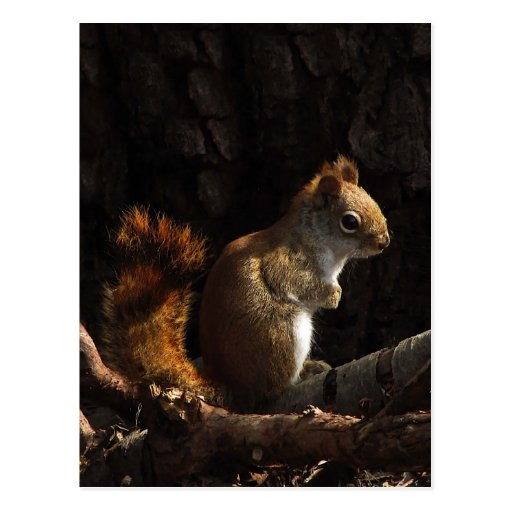 Squirrel in a Patch of Sunlight Postcards