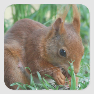 Squirrel - Jean Louis Glineur Photography Square Sticker