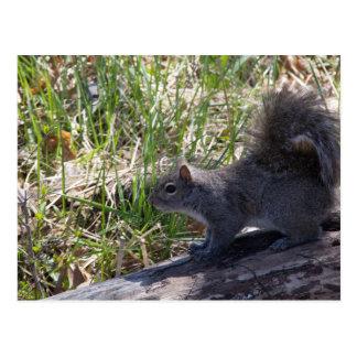 Squirrel on a Log Postcard