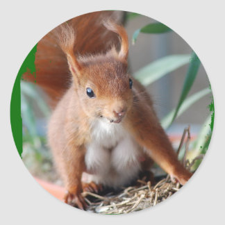 SQUIRREL - SQUIRREL - photo Jean Louis Glineur Classic Round Sticker