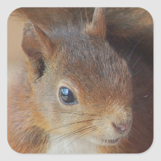 Squirrels Squirrel/photo: Jean Louis Glineur Square Sticker
