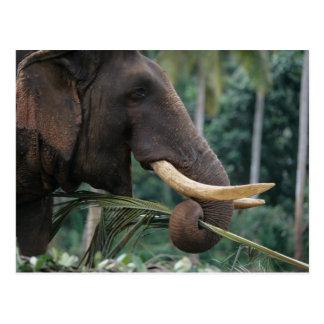 Sri Lanka, Elephant feeds at Pinnewala Elephant 2 Postcard