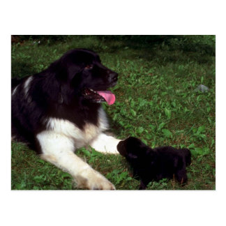 St. Bernard and pup Postcards
