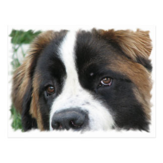 St Bernard Puppies Postcard