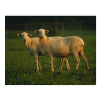 St Croix Hair Sheep Postcards