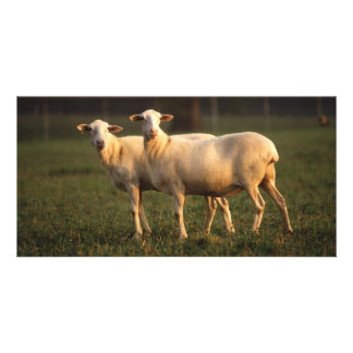 St. Croix sheep Personalised Photo Card