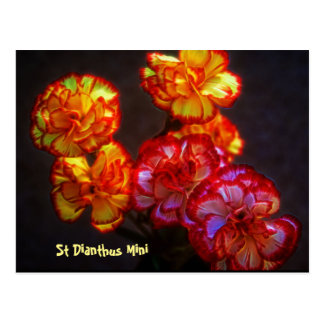 St Dianthus Mini on a post card