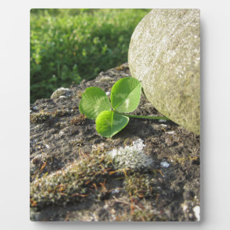 St. Patrick's Day background with clover by stone Photo Plaque