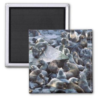 St. Paul Island Fur seal rookery, Pribilofs Magnet