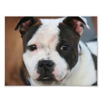 Staffordshire bull terrier photo print