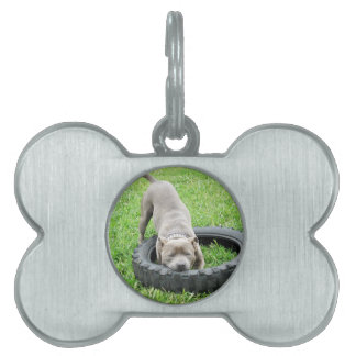 Staffy_Playing_With_Chew_Toy,_Dog_Tag Pet Tags