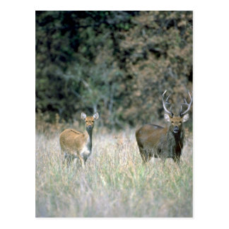 Stag and deer postcard