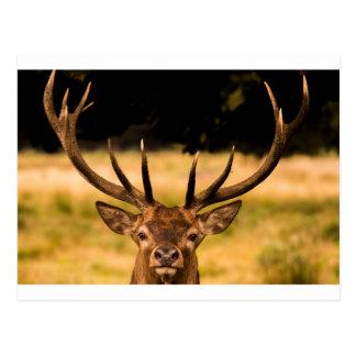 stag of richmond park postcard