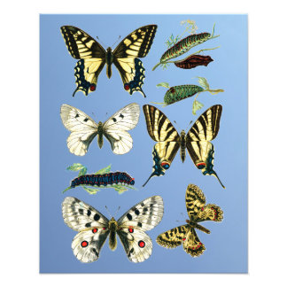 Stages in the life of Swallowtail Butterflies Photo