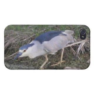Stalking Black-Crowned Night-Heron 4/4s Spe iPhone 4 Cover