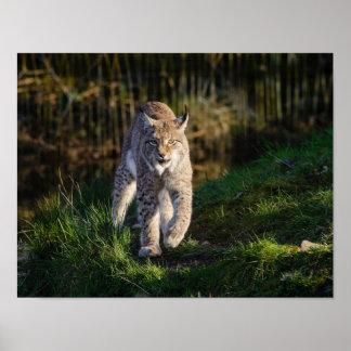 Stalking Lynx Poster