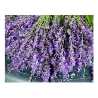 Stalks of Lavender Postcard