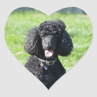 Standard Poodle dog black beautiful photo portrait Heart Sticker