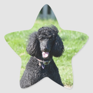 Standard Poodle dog black beautiful photo portrait Star Sticker