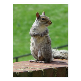 Standing Squirrel Postcard