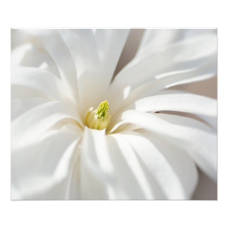 Star Magnolia Photo Print