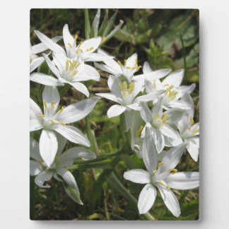 Star of Bethlehem flowers  Ornithogalum umbellatum Plaque