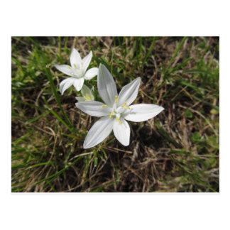 Star of Bethlehem flowers  Ornithogalum umbellatum Postcard
