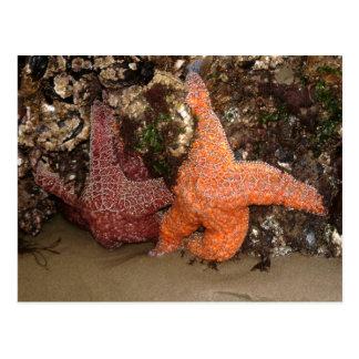 Starfish/Sea Stars, Cannon Beach OR, Photo 3 Postcard