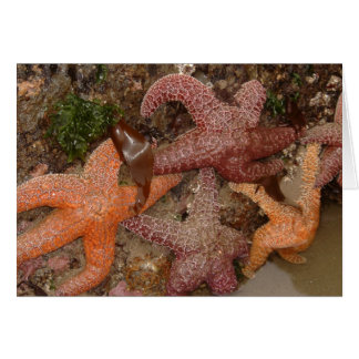Starfish/Sea Stars in Cannon Beach, OR, Photo 4 Card