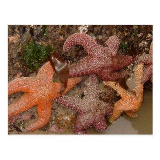 Starfish/Sea Stars in Cannon Beach, OR, Photo 4 Postcard