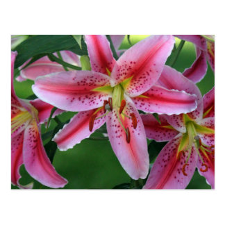 Stargazer Lily 8663 Postcard