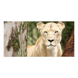 Staring Lioness Customised Photo Card