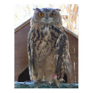 Staring owl postcard