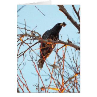 starling at sundown card