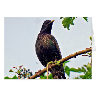 Starling in a tree card