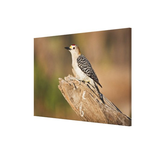 Starr Co. ranch, south Texas, USA, spring, Stretched Canvas Print