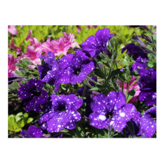 Starry Night Petunia flower postcard