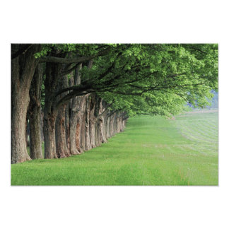 Stately row of trees, Louisville, Kentucky. Photograph