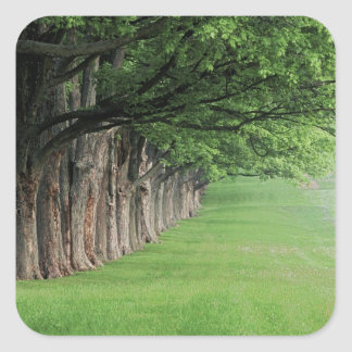 Stately row of trees, Louisville, Kentucky. Square Sticker