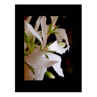 Stellar geranium 'Vectis glitter' Postcard