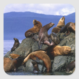 Stellar sea lions Alaska; USA Square Sticker