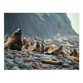 Stellar sea lions on Buldir Island Postcard