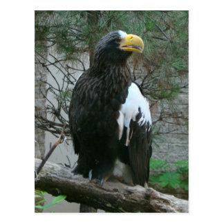 Stellers Eagle Postcard