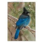 Steller's jay bird in tree card