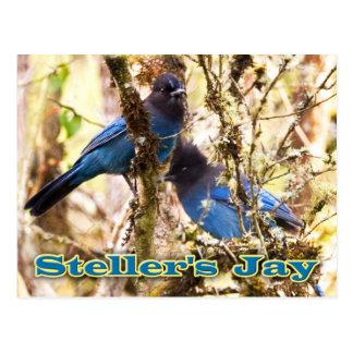 Steller's Jay Postcard